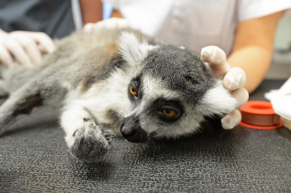 Julian lemur, Wrocław University of Environmental and Life Sciences, WUELS,